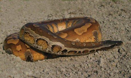 Python Malais